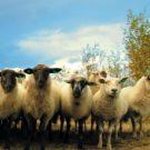 Quels médicaments pour soigner les maladies de pied d'un mouton ?