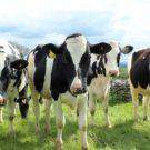 Comment lutter contre la fièvre de lait chez la vache ?