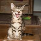 Cystite du chat: ce qu'il faut faire