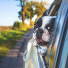 Mal de transport chez le chien : Tout ce que vous devez savoir