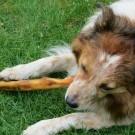 Les aliments toxiques pour les chiens