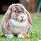 Traitement de la gale des oreilles du lapin