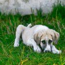 Les vaccins obligatoires pour les chiens